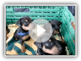 Play Miniature Pinscher puppies!!