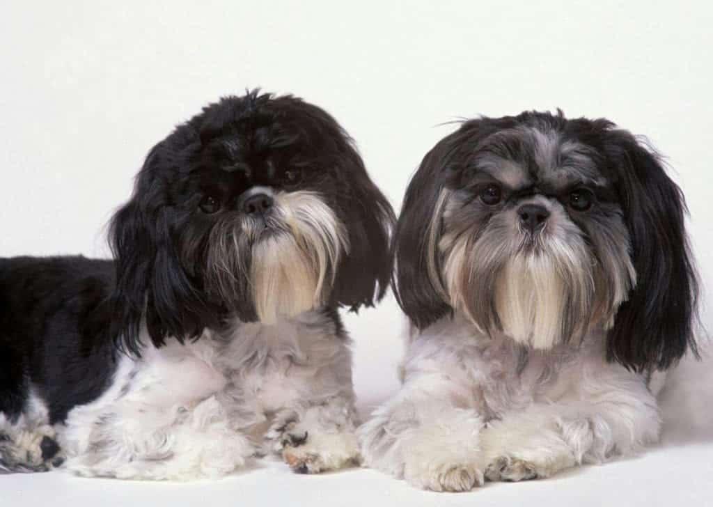 Shih Tzu Razas Perros Mascotas