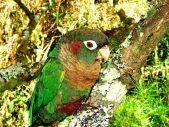 Papagei pechiparda