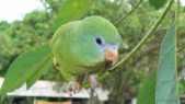 Amazonas-Sperlingspapagei