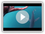 Giant squid attack by shark