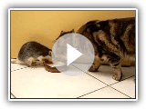 Chat et le Rat buvant du lait ensemble HD [Langue source]