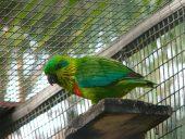 Salvadori's Fig-Parrot
