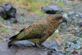 Papagaio-da-nova-zelândia