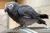 papagaio-timneh
