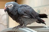Timneh Parrot