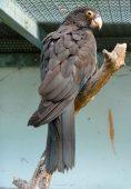 Papagaio-vasa