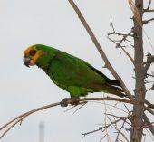 Papagaio-de-cara-amarela