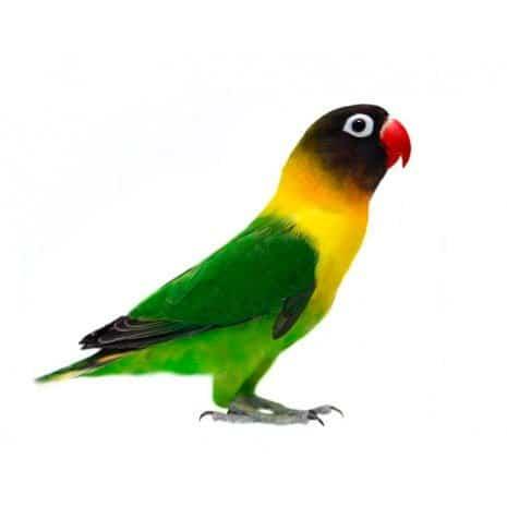 Schwarzköpfchen Agapornis Personatus Exotische Vögel Haustiere