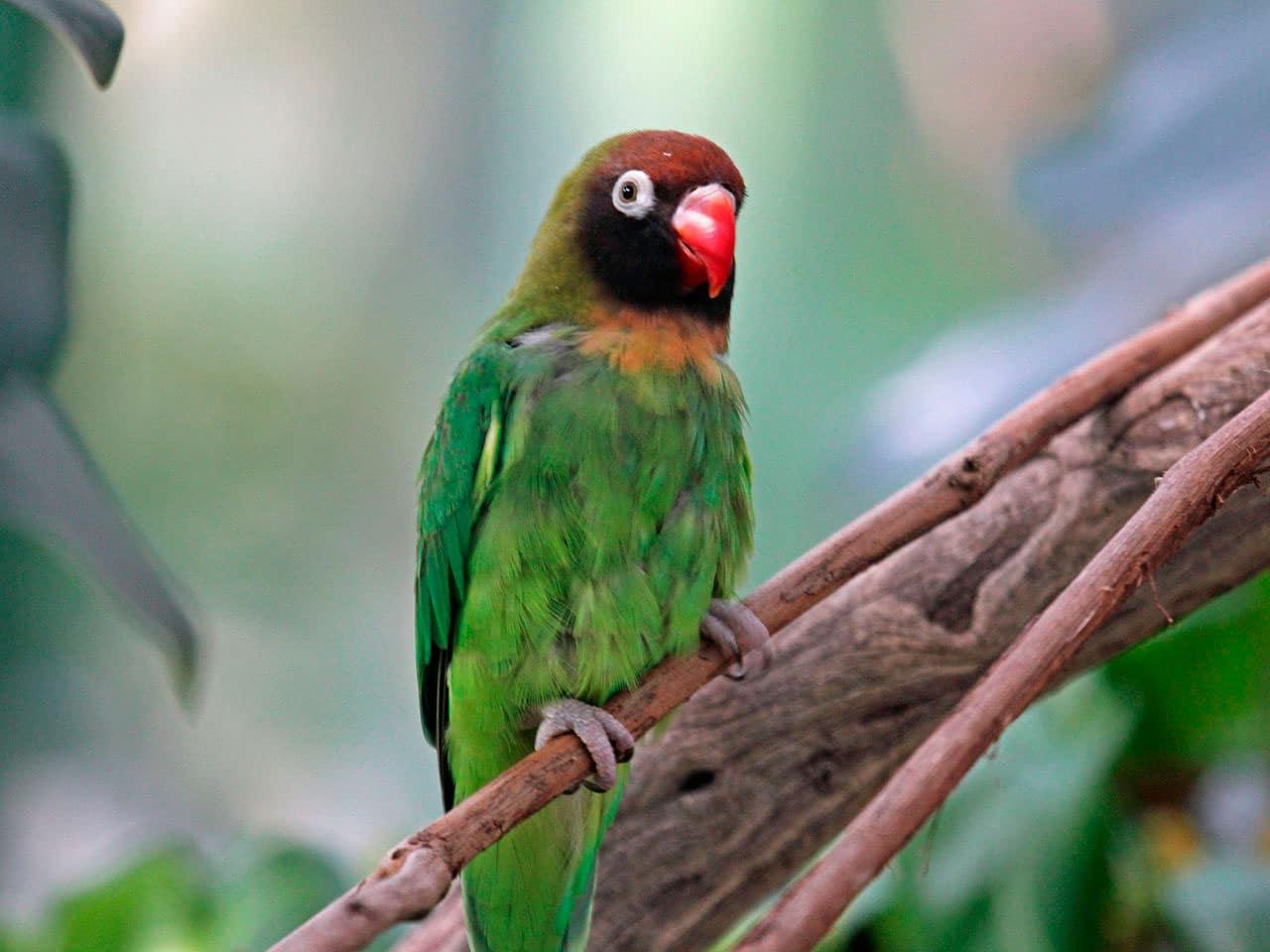 Inseparable A Joues Noires Agapornis Nigrigenis Oiseaux Exotiques Animaux