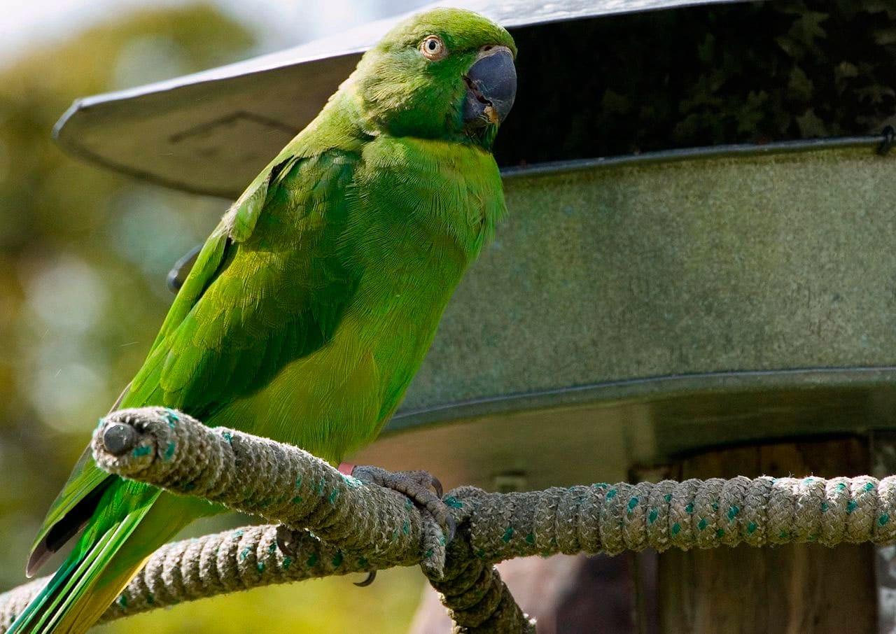 Reunion Parakeet