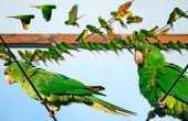 Periquito verde