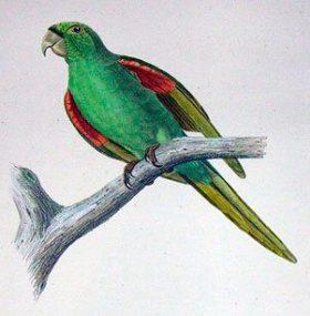 Psittacara chloropterus maugei