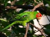 Periquito-de-cabeça-vermelha