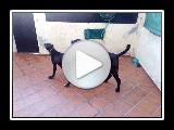 Der Dogo-espanol