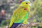 starke-Papagei