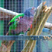 Papagaio-imperial