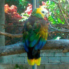 Papagaio-de-são-vicente