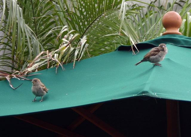 umbrellabirds