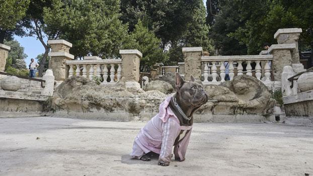 Ugo il bulldog francese protagonista del film Il Colpo del Cane - Photo © Danilo Marocchi
