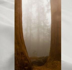 Giant-Sequoias-in-fog