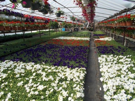 The petunias in Gustafson's Greenhouse ready for planting in Ludington.