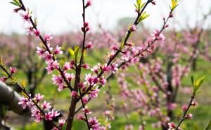 Peaches blossom.