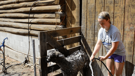 Andrea Shoop washes her sheep in preparation of the Western Michigan Fair.