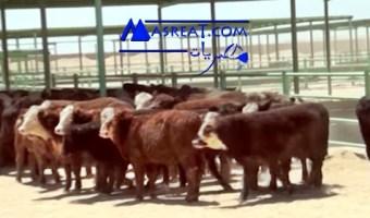 اسعار اللحوم في مصر