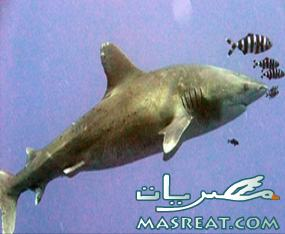 انثى تقف وراء حوادث و هجمات اسماك القرش القاتلة على سياح كفر الشيخ