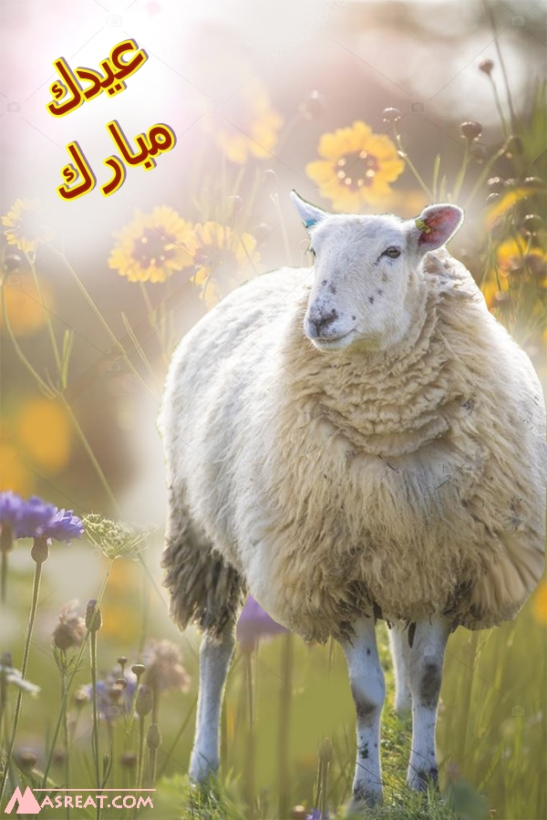 صورة خروف كبير للعيد الكبير