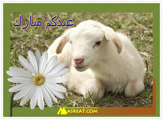 صورة طبيعية لخروف العيد