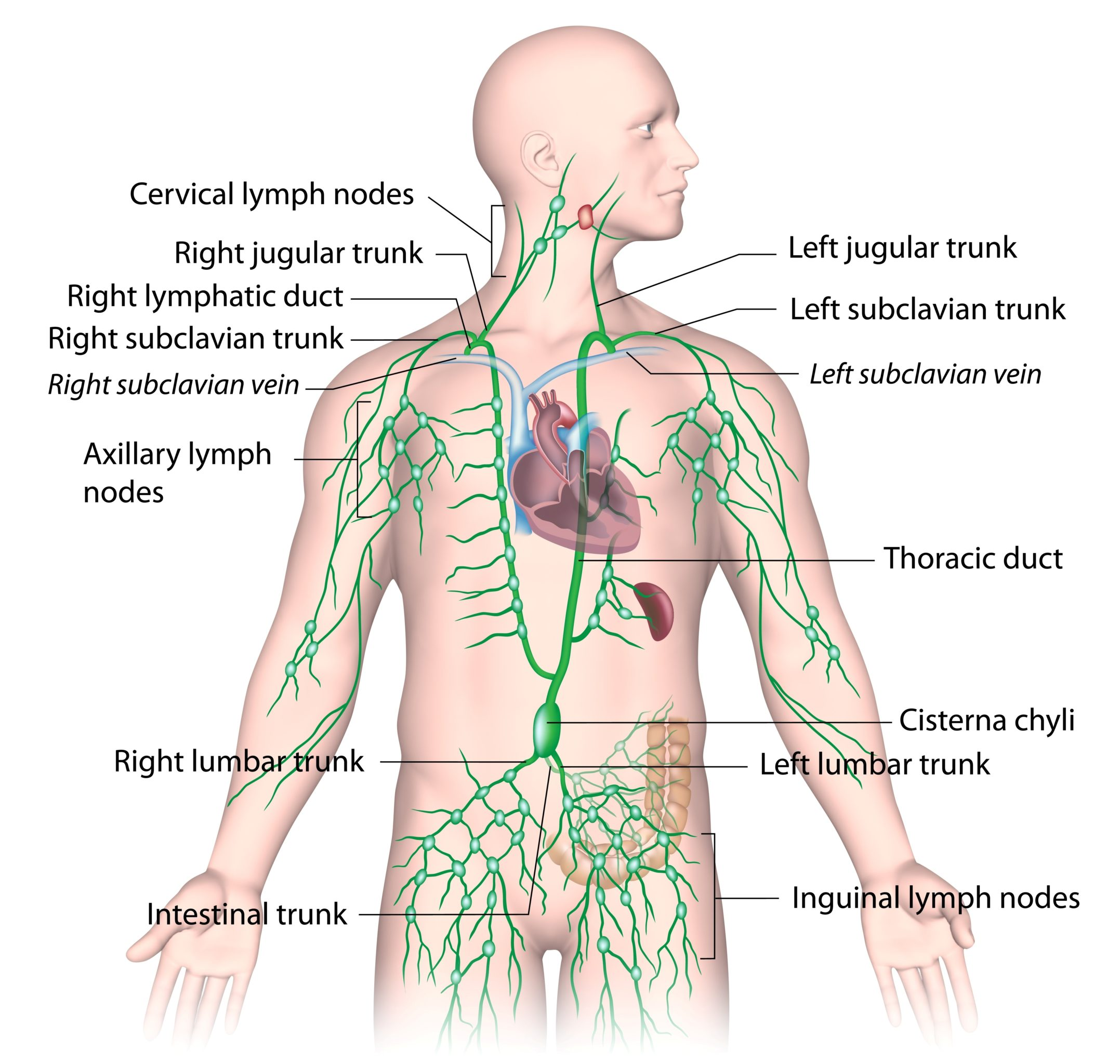 Lymphatic Drainage From Upper Body Labeled