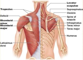 Neck And Shoulder Massage Anatomy - Massage In York