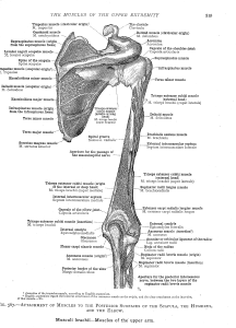 Muscles of the Shoulder Pictures • Massage School Notes