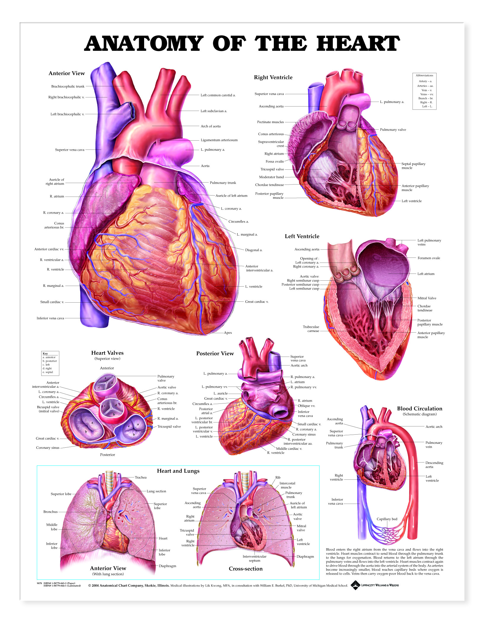 human heart diagram posterior activity for library management system anatomy of the - charts | 1944
