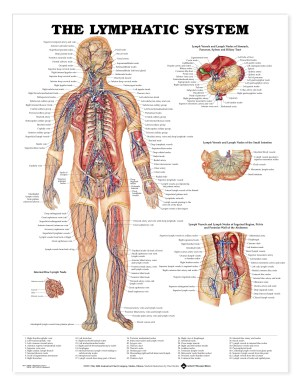 Lymphatic System  Charts   2452