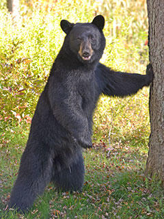 about black bears