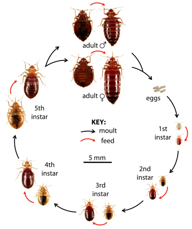 Bed Bug Life Cycle And Feeding Pattern Mass Bed Bug Busters