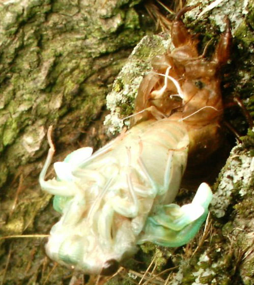 Blonde Girl In The Woods Wallpapers Many Cicadas Found Today