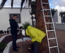 El Ayuntamiento de San Bartolomé ha encargado un estudio de las palmeras de la Avenida de Playa Honda