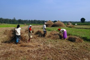 Residuo de Paja de arroz