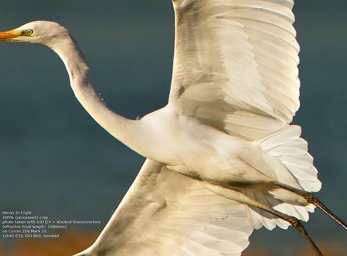 Juza-Heron-100% cropped