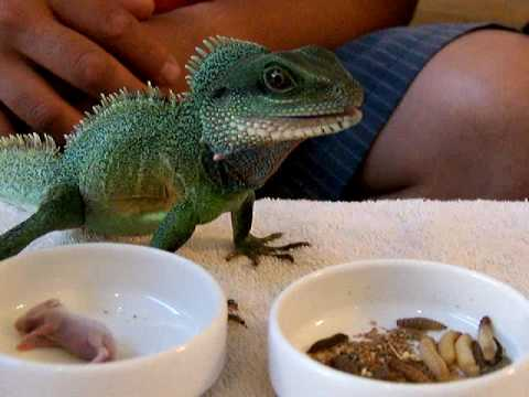 Chinese Water Dragon Care Information