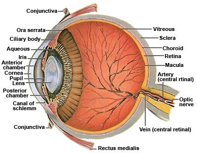 eye anatomy ocular anatomy