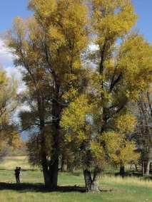 Cottonwood Trees - Hammock Stand