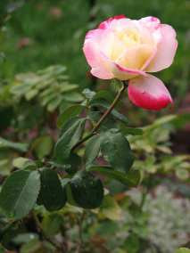 Yellow Rose - The Scent of Summer (3)