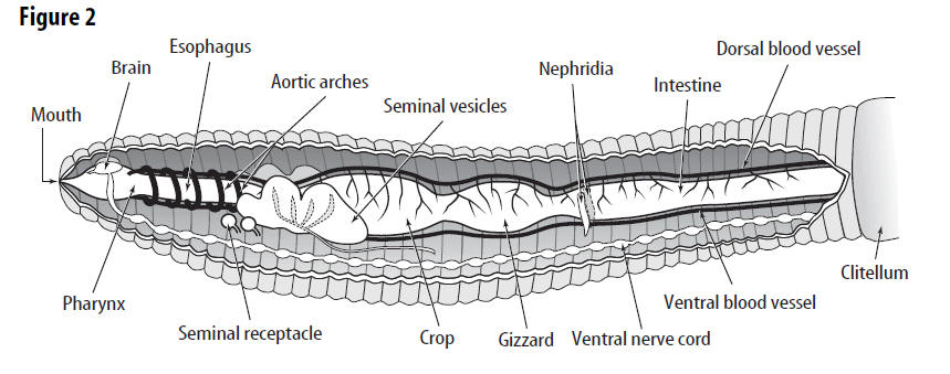 earthworm digestive system diagram ttt of fe fe3c lab