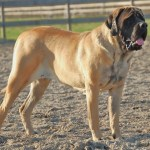 english mastiff temperament