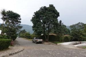 アボガドの木 驚くほどの巨木です グアテマラでもアボガドはとても人気だそう